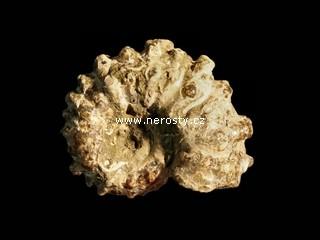 amonit + douvilleiceras mammilatum