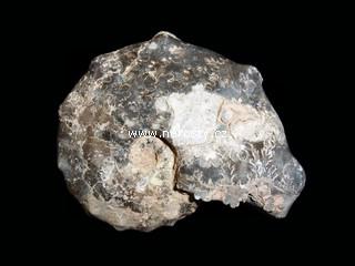 amonit + mammites nodosoides