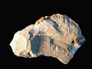 trilobit, více neurčeno