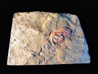 trilobit, asaphus