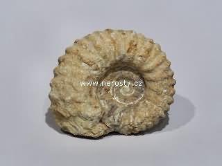 amonit, mantelliceras sp.
