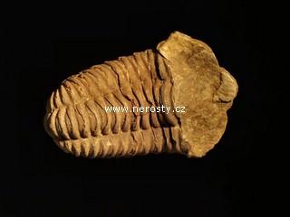 trilobit, flexicalymene