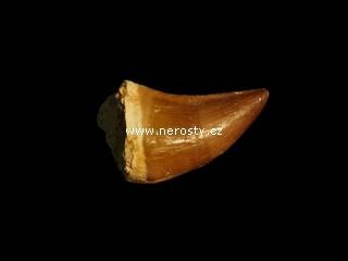 zub, mosasaurus anceps