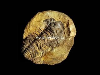 trilobit