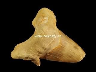 zub, otodus obliquus