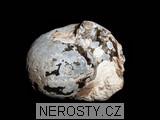 amonit, cadoceras sp.