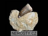 zub,mosasaurus anceps