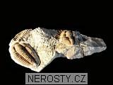 trilobit,více neurčeno