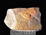 trilobit,asaphus