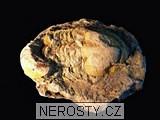 trilobit,illaenus sp.