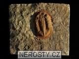 trilobit,asaphus sp.