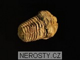 trilobit,flexicalymene