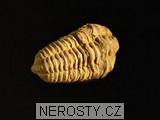 trilobit,flexicalymene