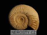 amonit,perisphinctes sp.