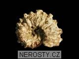 amonit,douvilleiceras mammilatum