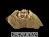 trilobit,symphysurus rouvillei