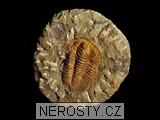 trilobit,hamatolenus vincenti