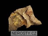 trilobit, asaphus sp.