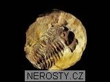 trilobit, diacalymene