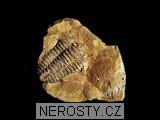 trilobit,diacalymene