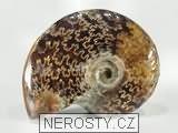 amonit,phylloceras sp.