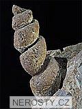 mlž, gastropod turritella
