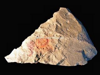 trilobit + asaphus