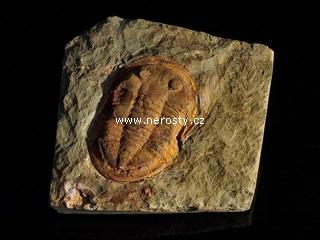 trilobit + asaphus sp.