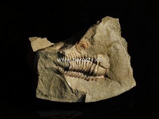 trilobit + eohomalonotus sp.
