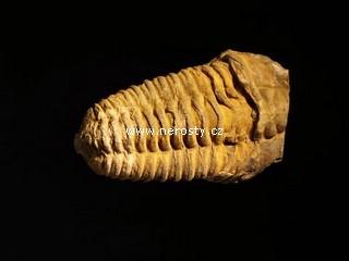 trilobit + flexicalymene
