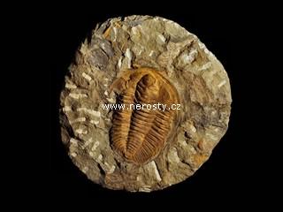 trilobit + hamatolenus vincenti