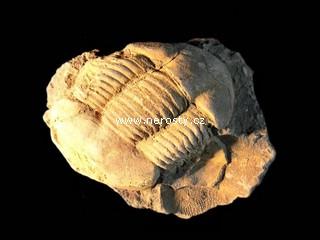 trilobit + illaenus sp. + ectillaenus? perovalis