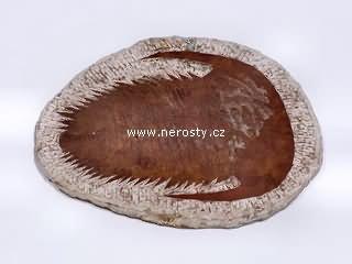 trilobit paradoxides