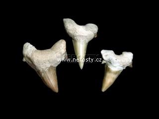 zub + otodus obliquus